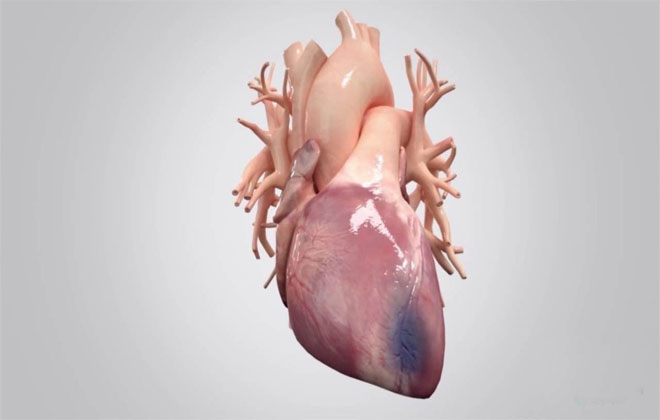 Сердце крупным планом