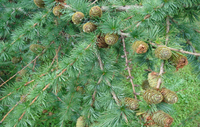 Отвар коры лиственницы