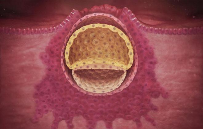 Погружение эмбриона в стенку