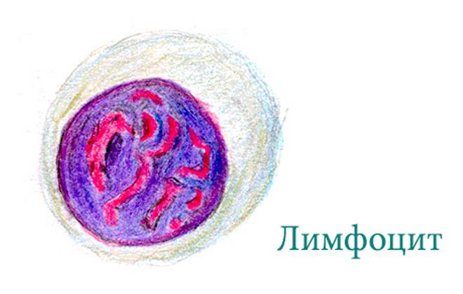 Лимфоцит в жидкости