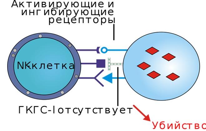 NK клетки