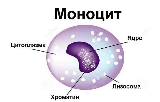 Состав моноцита