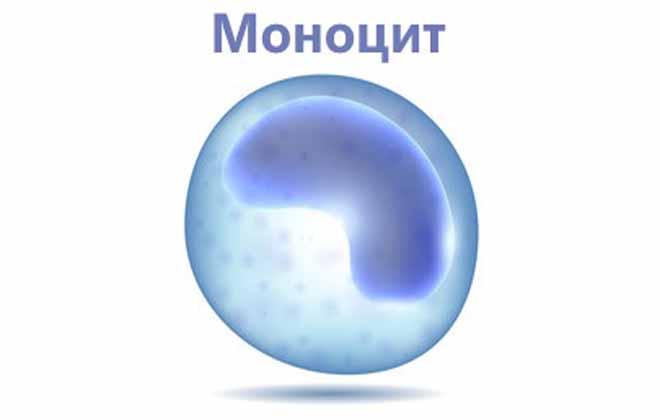 Клетка моноцита