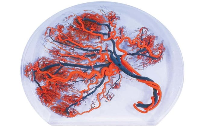Как выглядит плацента