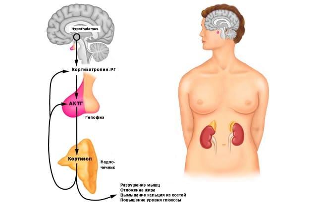 Кортикотропины РГ и АКТГ