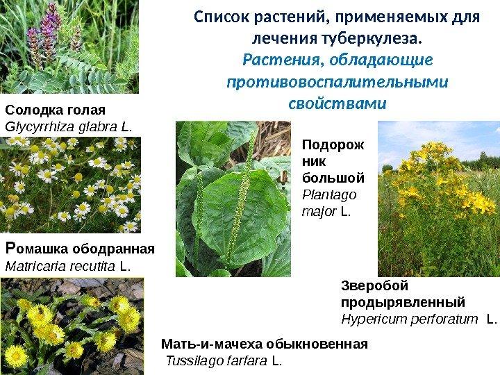 Травы от туберкулеза