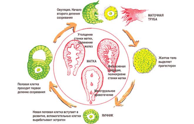 Формирование желтого тела в матке