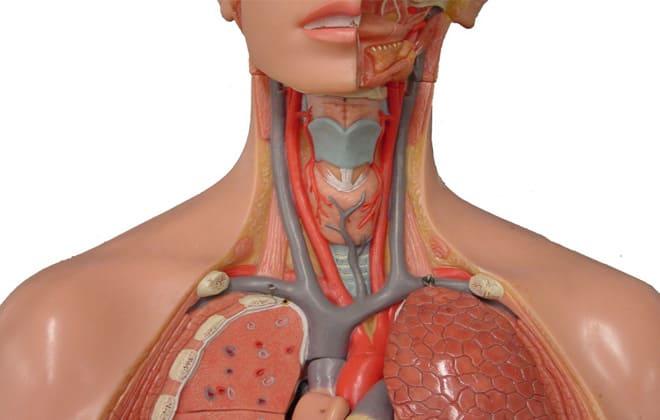 Артерии шеи и головы