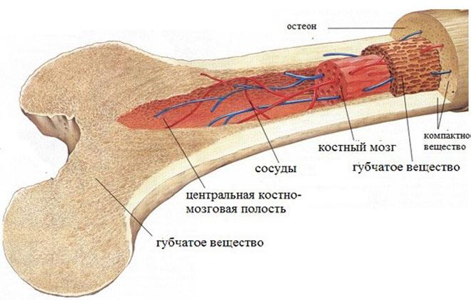 Красный костный мозг