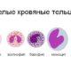 Что такое лейкоцитарная формула крови и для чего нужна (таблица расшифровки норм у взрослых)