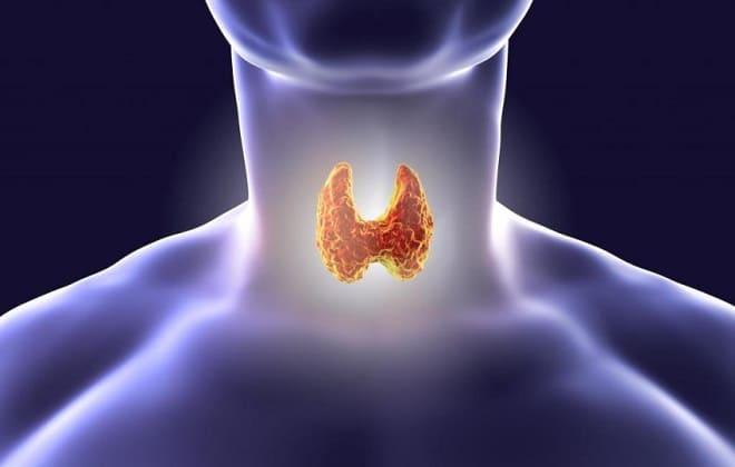 Щитовидная железа у человека